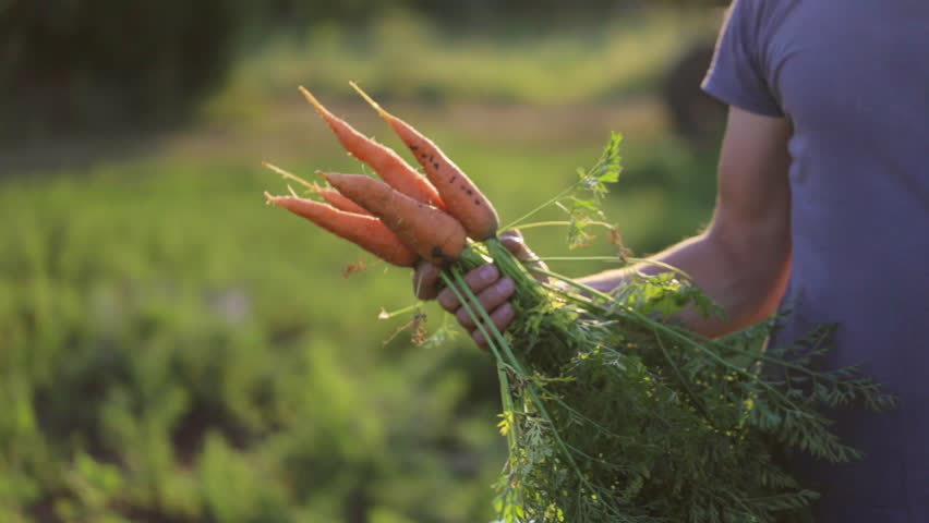 The farmer is holding a biological product of carrots, hands and carrots soiled with earth. Close-up of carrots bunch with crop part body.