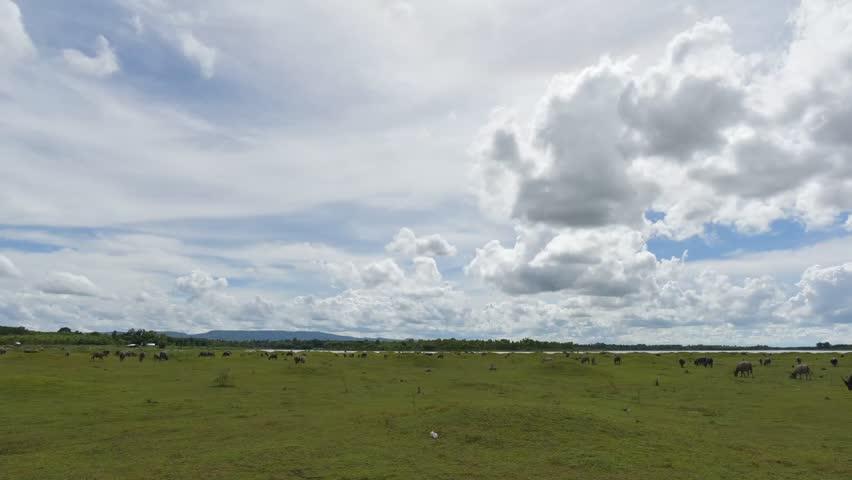 Time lapse Buffalo herds eat grass in Meadow beside the dam. Beautiful cloudy sky  | Shutterstock HD Video #28717396