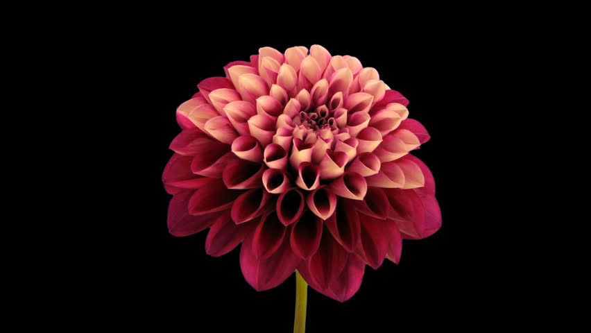 Time-lapse of opening and dying red dahlia flower 9e in PNG+ format with alpha transparency channel isolated on black background