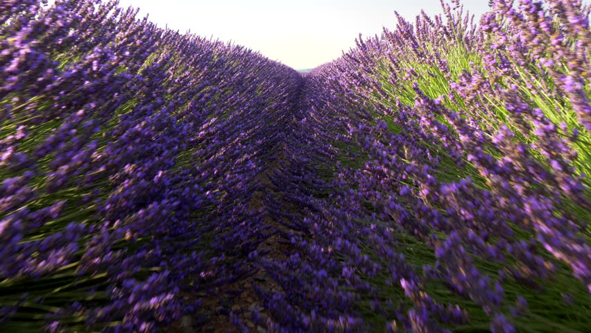 Walking through lavender field at sunrise. Valensole Plateau. Provence, France | Shutterstock HD Video #28806256