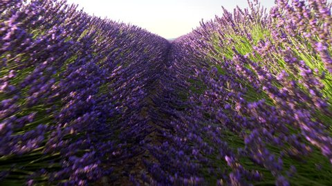 Walking through lavender field at sunrise. Valensole Plateau. Provence, France