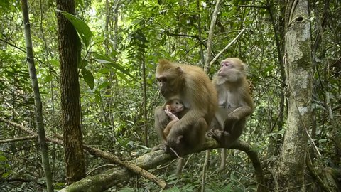 Life of Assam macaque
