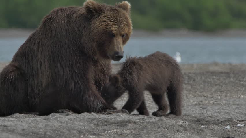 Family of bears. Bear and cubs. | Shutterstock HD Video #28853326