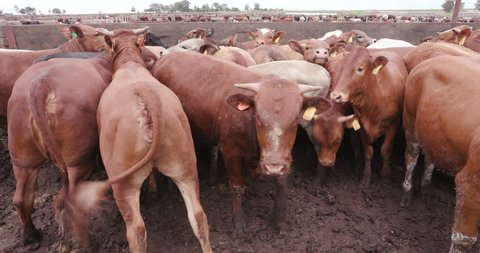 Tight shot of a group of cattle in a feedlot