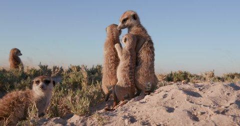 Meerkats standing ontop of their burrow and looking around,Botswana