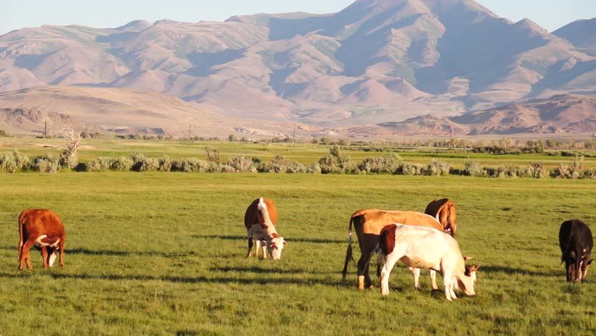 Cattle on pasture with mountain in background #29025226