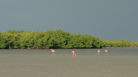 CLOSE UP: A group of pink American flamingos searching for food in shallow water in overgrown mangrove marsh in Rio Lagartos lagoon, Mexico. Wild flamingoes wading in a muddy river on sunny morning
