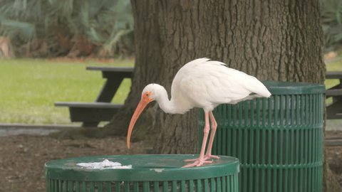 White Ibis tropical bird scavenging through public trash can. Orlando, Florida