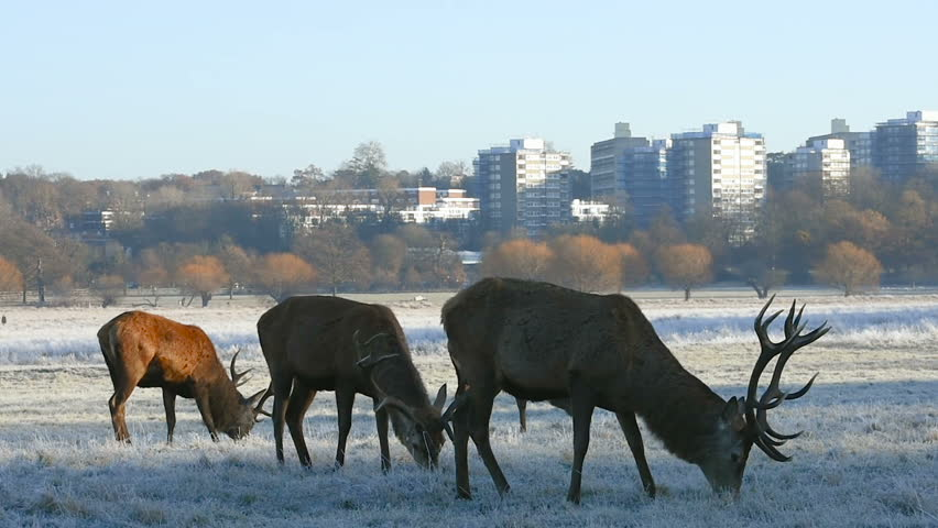 Red deer in Richmond Park with London city in background