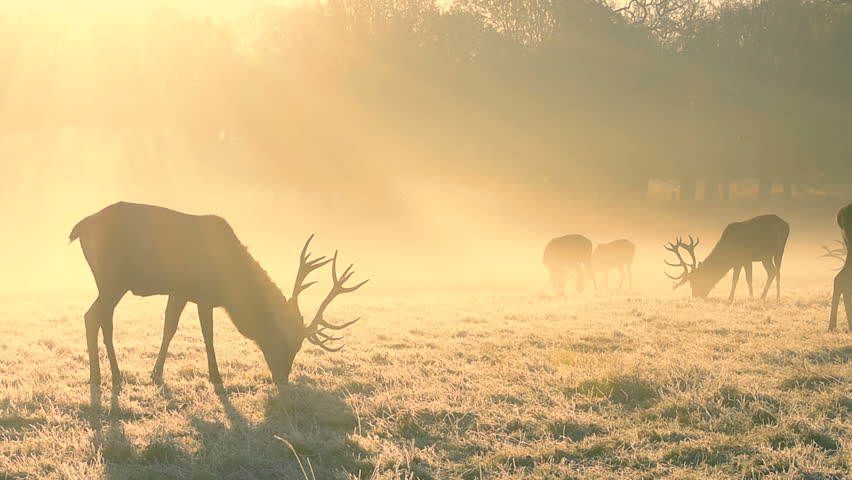 Red deer feeding at Sunrise in Richmond Park | Shutterstock HD Video #29102116
