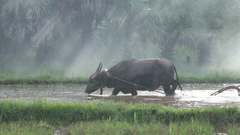 Thai farmers working Or plow the rice fields and buffalo as a helper.
