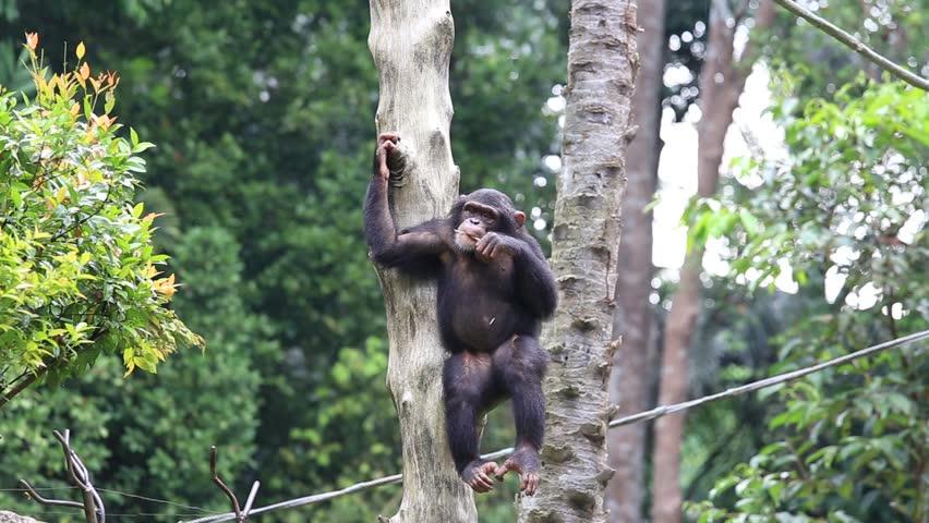 Header of chimpanzee