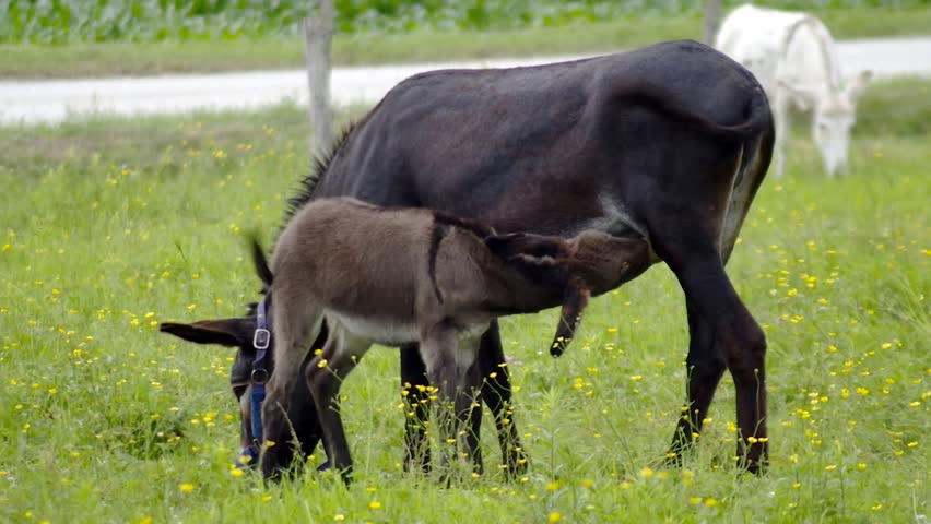 young donkey and mother feeding baby green field farm country ranch jackass meadow