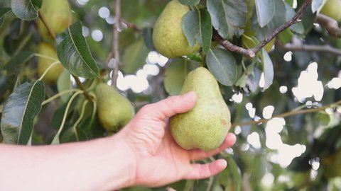 Human farmer hand testing ripeness of pear fruit from tree branch detail