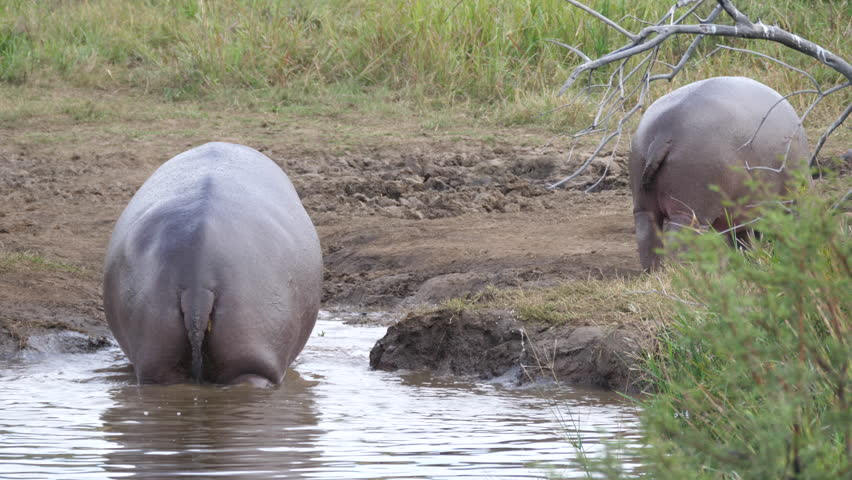 Hippo walks out a waterpool in Pilanesberg Game Reserve South Africa