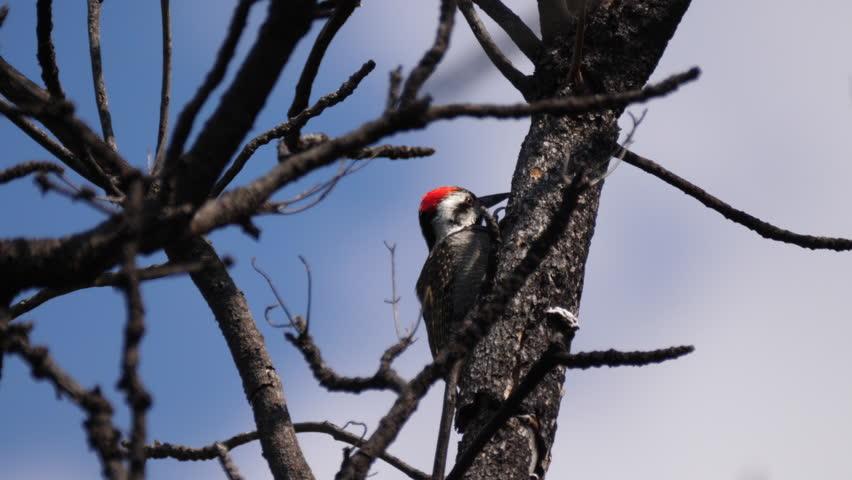 Header of African Grey Woodpecker