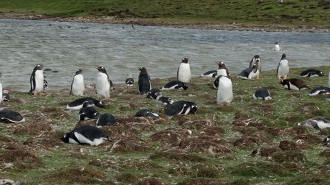 A field of nesting Gentoo Penguins with Dolphin Gulls at Bluff Cove Falkland Islands