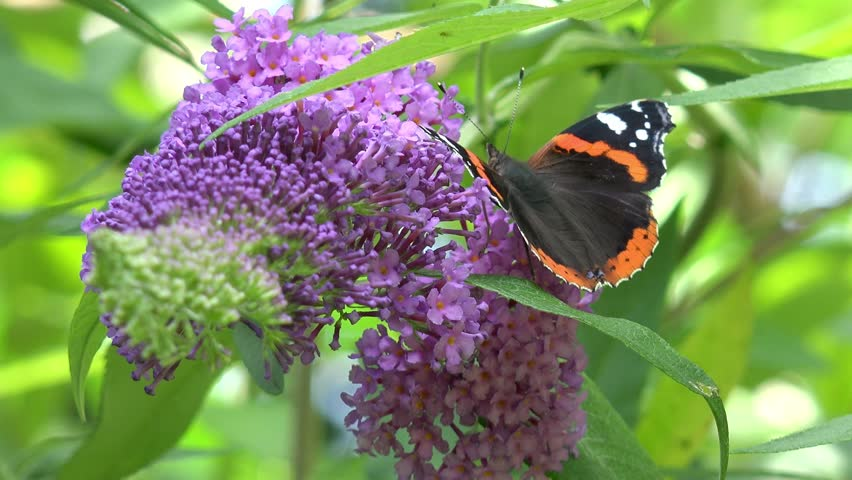 Butterfly red admiral on purple flower