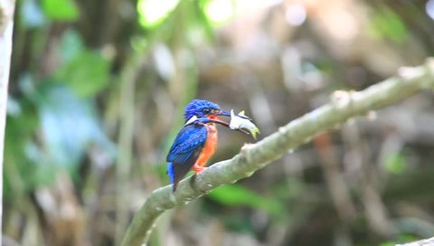 Blue-eared Kingfisher. An uncommon resident bird of Thailand has been found at Khao-Yai National Park, the World Heritage Site in Nakhon Ratchasima. The shot has been made in July 30, 2017.