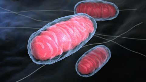 Mitochondria is a double membrane-bound organelle found in all eukaryotic organisms. 3D animation