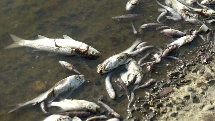 Dead Fish | Shutterstock HD Video #2945092