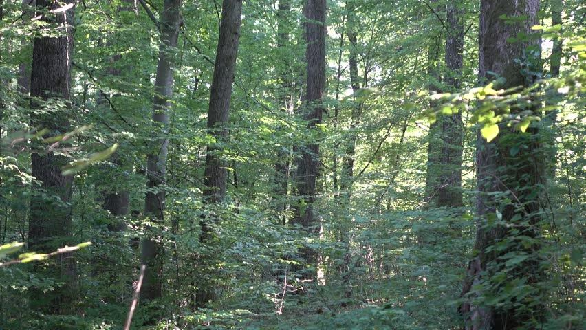 Forest. Transcarpathia | Shutterstock HD Video #29500996