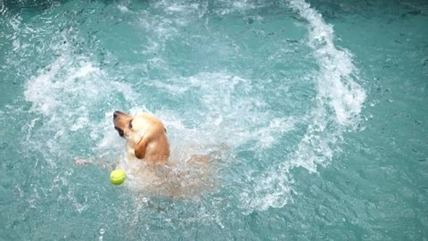 Labrador Dog Jumping In Swimming Pool Playing With Ball. Slow Motion. HD; 1920x1080.