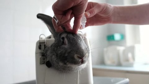 Rabbit in the lab as a research object