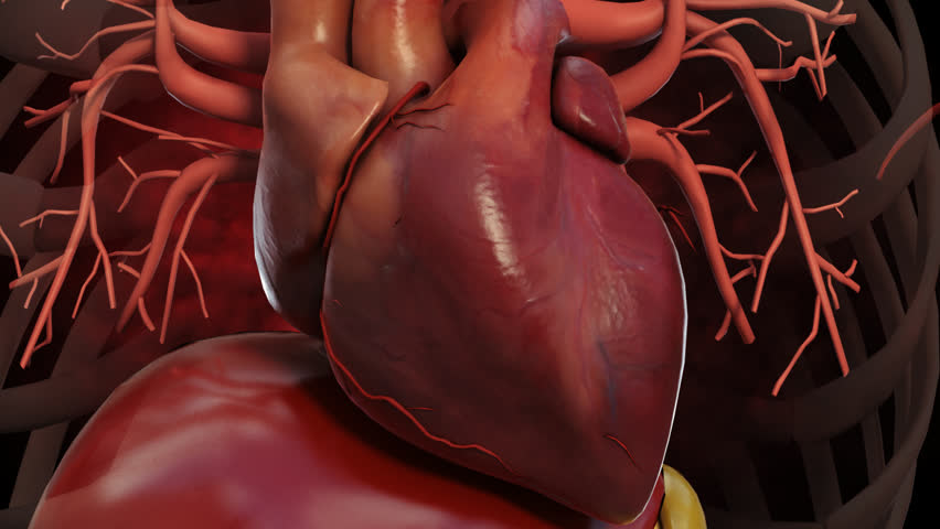 Normal healthy heart beat contraction pulse rhythm in internal chest cavity  with ribs and vessels in 3D CG animation loop of human animal model