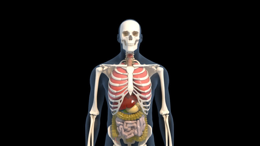 Animated 3D human male spinning on the spot on black background with transitioning loop between transparent and skin. Skeleton, ribs, liver, stomach, large and small intestine are showing when fade | Shutterstock HD Video #2960746