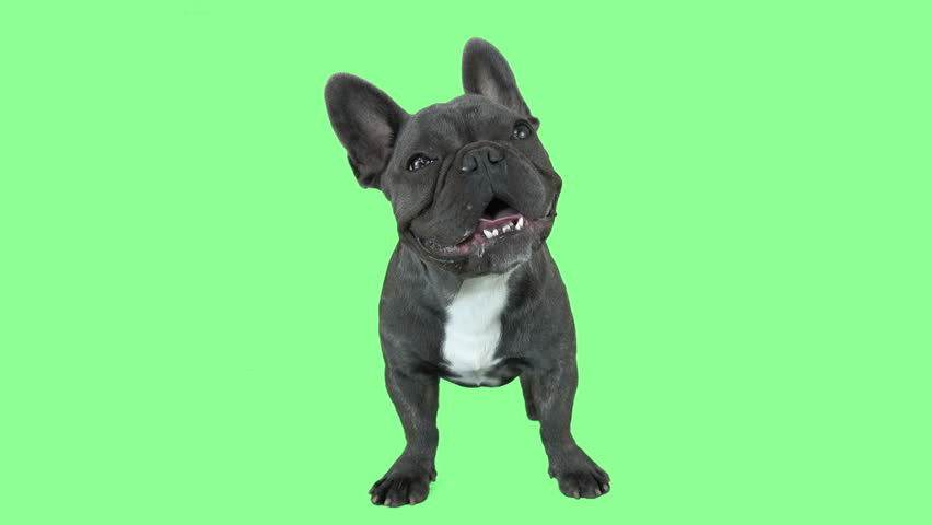 Funny bulldog on a green screen