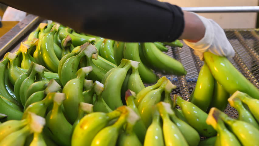 Advertise, Best fruit, Health, Business concept - Washed and beautiful Banana arraged during harvest and packing process. | Shutterstock HD Video #29655856
