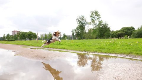Funny young Beagle dog with flying ears leap over puddle, slow motion shot. Juvenile doggy run at ground path and make amusing jump to skip wet ground. Small dog have fun outing at city park