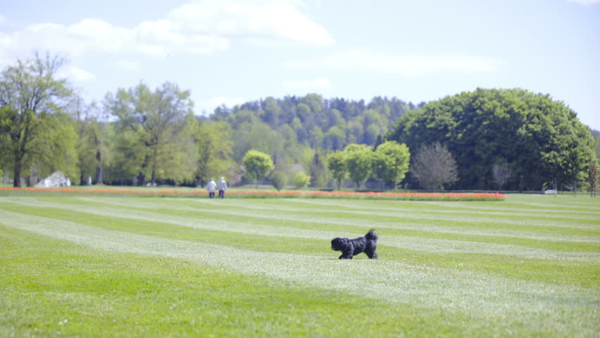 Small dog run of frame on big lawn 4K. Wide shot of a cute black dog in focus walk on an endless green lawn and run towards left part of the frame.