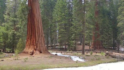 Tilt up giant Sequoia trees in Yosemite National Park. Low angle shot with pan up motion of Giant Sequoia grove in Sequoia National Park, California. Sequoia tree.