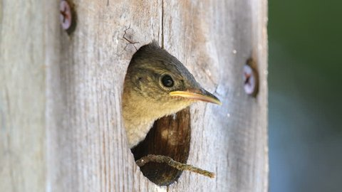 Young house wrens peek out of an old wooden bird house.  Two babies show their heads through the small hole of a bird house.