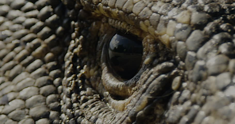 Close up view of a Dragons eye watching you as his head moves back and forth.