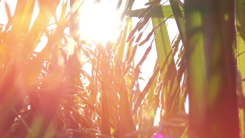MACRO CLOSE UP, LOW ANGLE VIEW, DOF, LENS FLARE: Sun shining on beautiful ripe crop seeds on rice plant growing on lush green rice paddy field. Gorgeous rice ears, juicy blades and verdant leaves