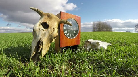 Cow and horse skulls on spring wheat field and old clock, memory concept, time lapse 4K