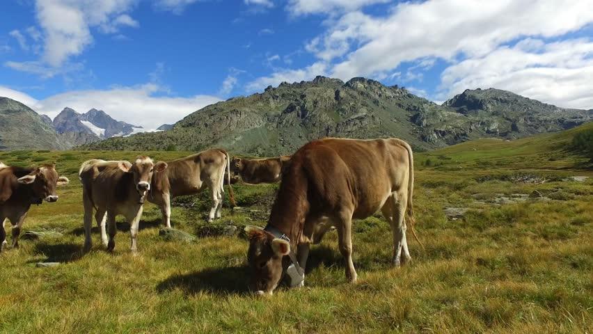 Cows grazing in mountain - Italian Alps