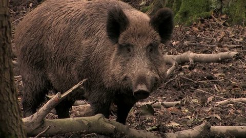 Wild boar watching closely - wildlife