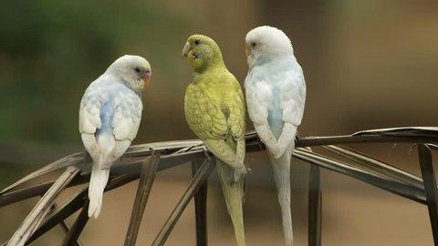 parakeets (Melopsittacus undulatus) family in natural scenes.