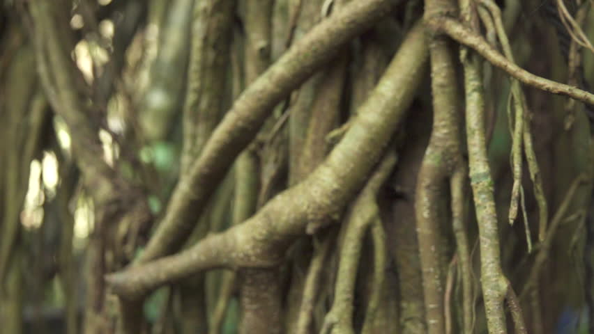 MACRO CLOSE UP: Detail of woody jungle vines and lianas climbing on ancient tree in impassable tropical Monkey Forest in Ubud, Bali, Indonesia. Mossy root bark of climber plant in primeval rainforest