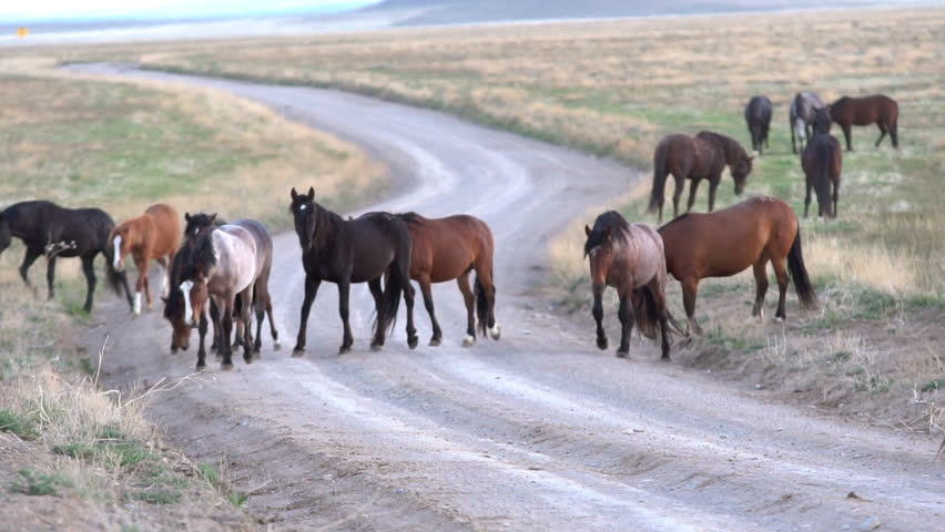 Wild horse herd walking across dirt road in slow motion. | Shutterstock HD Video #30102526