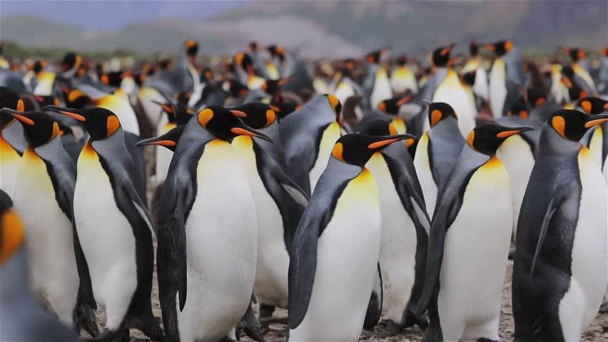 King Penguin colony