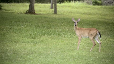 A female white tail deer with a growth on her hip, is startled and runs away