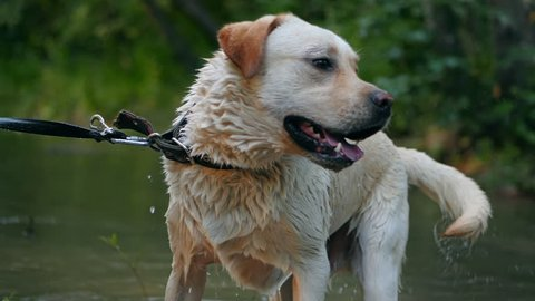 Closeup of wet dog shaking off water in slow motion. Adult labrador with cane in teeth bathes on the river and enjoys nature. Funny animal.