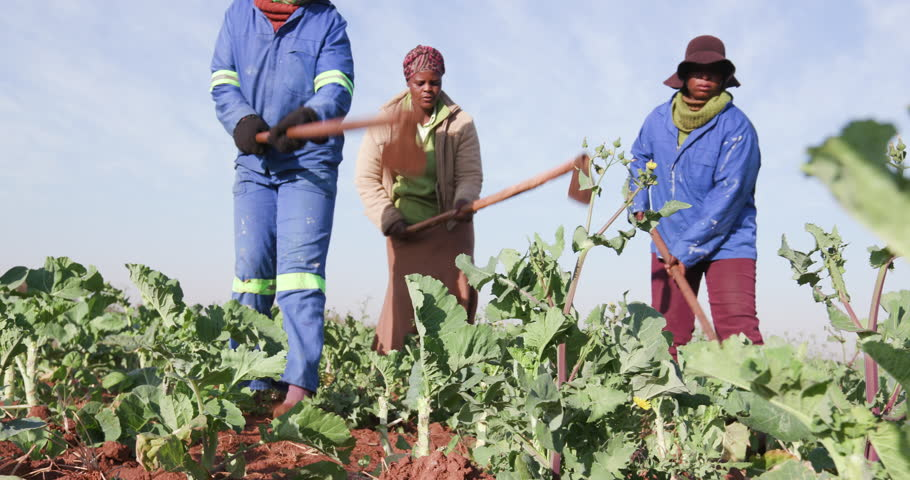 Community garden projects.Close-up view of three African woman manually ploughing a kale field with a hoe
