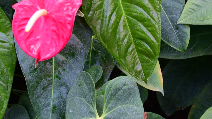 Anthurium plants. Red anthurium flowers in botanic garden anthurium andraeanum, araceae orarum . Green and red background. Tropical plants