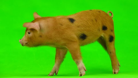 Pig isolated on a green screen background in studio